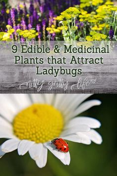 These edible & medicinal plants that attract ladybugs will pull double duty -- bringing hungry ladybugs to devour garden pests and add herbs to your kitchen and apothecary! #ladybugs #companionplants #gardening #pestcontrol