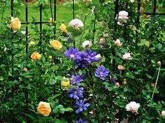 Clematis 'Francisca Maria, flanked by David Austin roses.
