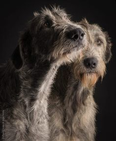 Baby Puppies, Dogs And Puppies, Doggies, Scottish Deerhound, Irish Wolfhounds, Animals And Pets, Cute Animals, Grey Kitten, Silly Dogs