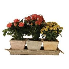 """Set of three distressed wood planters with tray.   Product: 3 Planters and trayConstruction Material: WoodColor: Muted pastelsDimensions: Planter: 3.5"""" H x 3.5"""" W x 3.5"""" D eachOverall: 3.5"""" H x 11"""" W x 3.5"""" D"""