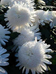 White Chrysanthemum, White Orchids, White Gardens, Dahlia, Shrubs, Dandelion, Around The Worlds, Instagram Posts, Color