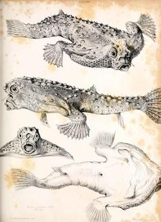 Fauna Boreali-Americana;  Part 3: The Fish. John Richardson, 1836.