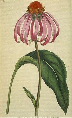 Echinacea purpurea 1792 #adelineloves #botanical #adelineinspiration
