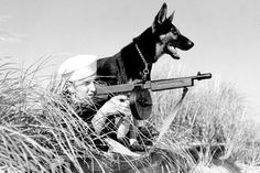 A war dog helps out during Coast Guard beach patrol. (Photo: U.S. War Dogs Association). War dogs came to the rescue in World War 2 (Reminisce magazine)