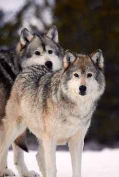 Wolves are my absolute favorite animals :D xoxo