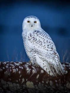 Exceptional shot of a Snowy Owl - by Joe Campbell - AR Beautiful Owl, Animals Beautiful, Cute Animals, Owl Photos, Owl Pictures, Exotic Birds, Colorful Birds, Owl Bird, Pet Birds