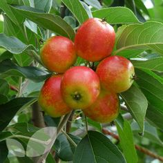 John Downie Crab Apple - good for jam and cider, and pretty as well. Can certainly find a corner for this.