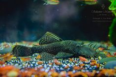 """Well, no more guessing about those amber-colored eggs. The eggs did not belong to Remo! Definitely a male Calico Bristlenose Pleco (CBN). 01-08-16. He is now 4.13"""". I have now determined the eggs were laid by my Three-Lined Cories and were not fertilized eggs."""
