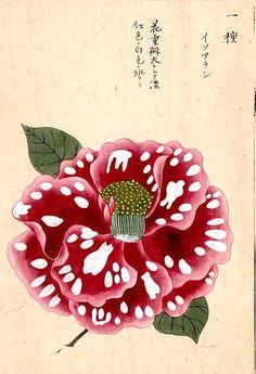 japanese art   Spotted flower by Iwasaki Tsunemasa