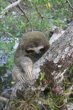 Critically Endangered Bradypus pygmaeus (Pygmy Three-toed Sloth) is known only from Isla Escudo de Veraguas, in the islands of Bocas del Toro, Panama. Unusual Animals, Animals Beautiful, Weird Mammals, Cute Sloth Pictures, Wyoming, Baby Animals, Cute Animals, Cute Baby Sloths, Three Toed Sloth