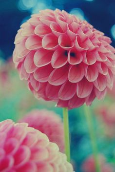 #dahlia #flower    .. love the intricate pattern of petals