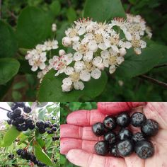 Black Chokeberry (Aronia melanocarpa): human superfood (contains antioxidents specifically anthocyanins), living fence, drought tolerant, fast to bear fruit, beautiful all year. Temperate Climate Permaculture: Permaculture Plants: Aronia or Chokeberry Trees And Shrubs, Trees To Plant, Aronia Melanocarpa, Permaculture Principles, Wild Edibles, Grow Your Own Food, Edible Flowers, Edible Garden, Medicinal Plants