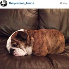 There's a baked potato on my couch @theycallme_bruce  #igbulldogs_Boston #Padgram