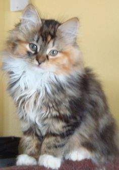 Siberian Kitten. Hypoallergenic & has the personality of a dog -- super friendly.