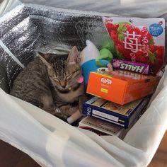 「ココちゃん、いいところ見つけたね〜☺️ #cat#tabbycat#rescuedcat#kitty#kitten#猫#ねこ#キジトラ#子猫#保護猫#ココちゃん」