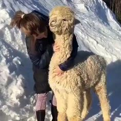 Watch this adorable alpaca being cooed to and caressed. It turns around and does a quick survey to see if any friends is witness to what is embarrassingly taking place. Cute Funny Animals, Funny Animal Pictures, Cute Baby Animals, Funny Cute, Animals And Pets, Funny Photos, Cute Creatures, My Animal, Animal Memes