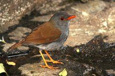 Orange-billed Nightingale-Thrush | The Orange billed Nightingale Thrush has not only an orange bill but ...