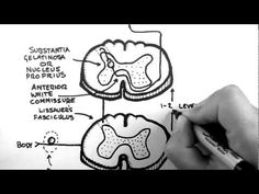 Spinal Pathways 3 - Spinothalamic Tract