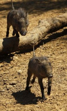 Baby warthogs Toby and Teddy, Dallas Zoo Baby Boom Dallas Zoo, Dallas Texas, Baby Warthog, Fort Worth Zoo, Baby Hippo, Dallas Morning News, Baby Boom, Horses, Pretty
