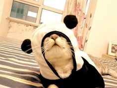 Panda mascot costume is one of the most popular items among buyers. Panda is a cute and honest animal which is called national treasure of China. Panda Costumes, Pet Costumes, Baby Animals, Funny Animals, Cute Animals, Crazy Cat Lady, Crazy Cats, I Love Cats, Cute Cats