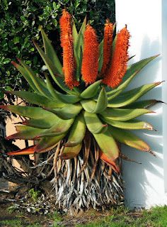 Aloe ferox - love the orange cones