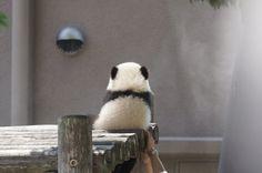 お〜い、お家帰るよ〜♡ Panda Bebe, Cute Panda, Super Cute Animals, Cute Little Animals, Cute Animal Memes, Funny Animals, Wild Animals, Panda Triste, Baby Panda Bears
