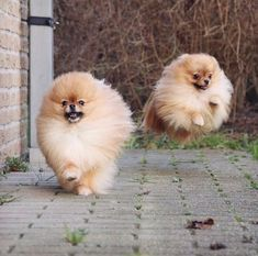 Law of Gravity once again only a Local Ordinance #pomeranian