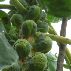 How to grow brussel sprouts (instructions, growing tips, advice, pictures)