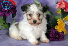 Look at this adorable Havanese pup! She is a social butterfly ready to go on all new adventures. Havanese Breeders, Havanese Puppies For Sale, New Adventures, Snuggles, Dogs, Animals, Animales, Animaux, Doggies