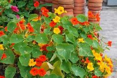 Charleston SC - Plant nasturtium seeds this month for a punch of color in the garden and a peppery bite on the plate Biodynamic Gardening, Kitchen Witch, Natural Cures, Potted Plants, Good To Know, Health And Beauty, Outdoor Gardens, Healthy Life, Beautiful Flowers
