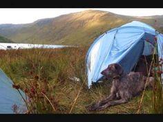 Obie The Deerhound/Greyhound, Irish Rover