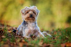 Charly – Yorkshire Terrier – Hundefotografie Allershausen