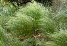 Mexican Feather Grass - Peddling Petals  - 2