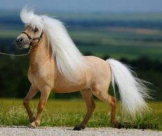 Palomino Miniature Horse ~ Love the mane Tiny Horses, Cute Horses, Pretty Horses, Horse Love, Show Horses, Palomino, Most Beautiful Horses, Animals Beautiful, Cute Animals