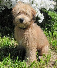 Soft Coated Wheaten Terrier!