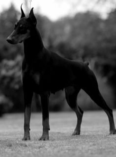 Dobermann, my favorite