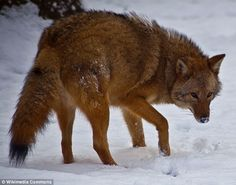Coywolf: The coywolf, pictured here, in West Virginia is a mix of a wolf and coyote. Meet the 'coywolf' a hybrid of a wolf and a coyote which is taking over the northeast of the U.S.