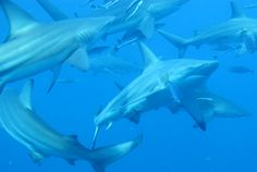 We have some amazing pictures and trips to South Africa on our new website www.sharktours.co.za  Sharks, Sharks, Sharks, Sharks #sharks 19 Day South African Dive Safari