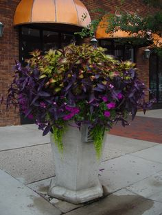 coleus and moses in the cradle-- stunning