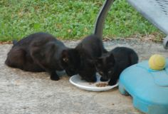 """PILUS GIARDINIERE: another family of """"free cats""""  here for lunch"""