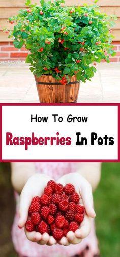 How To Grow Raspberries #howtogrowagarden