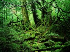 The rain forest that sits on Yakushima Island — which is located off the southernmost tip of Kyushu Island in southeastern Japan — is a unique ecosystem that's incredibly diverse. Yakushima boasts 1,900 species and subspecies of flora, 150 bird species, and 16 mammal species. It's home to an ancient species of the sugi — a Japanese cedar — and it's also a UNESCO heritage site.