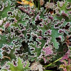 Heuchera Sashay, a Perennial with awesome looking leaves for the Shade Garden. I t will grow in Full Sun to Full Shade getting 8 to 22 inches tall and 16 inches wide.   ZONE 4-9