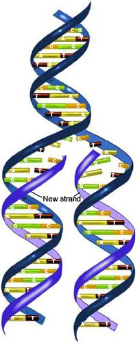 During DNA replication, each strand of the original molecule acts as a template for the synthesis of a new, complementary DNA strand.