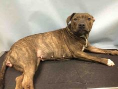 ♡ MY LIFE MATTERS ♡ SUPER URGENT BROOKLYN ELSIE – A1057865 ***HIND END AND FACIAL PARALYSIS – NEEDS NEUROLOGIC WORK-UP ASAP *** FEMALE, BR BRINDLE / WHITE, PIT BULL, 6 yrs STRAY – STRAY WAIT, NO HOLD Reason STRAY Intake condition INJ SEVERE Intake Date11/14/2015, From NY 11208, DueOut Date11/17/2015 http://nycdogs.urgentpodr.org/elsie-a1057865/