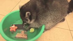Raccoon washing phone : AnimalsBeingJerks
