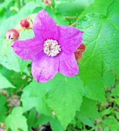 PURPLE-FLOWERING RASPBERRY: (Rubus oderatus).  Photographed June 11, 2016 at McConnell's Mill State Park in Lawrence County, PA.