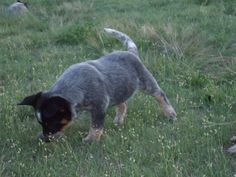 I saw it !!!  Australian Cattle Dog puppy from Cattle dogs Rule.