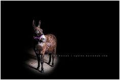 Karinda K Equine Photography Donkey in the Barn