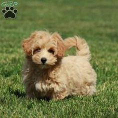 Bich-poo Puppy in Ephrata, PA Free Crochet Rose Pattern, Greenfield Puppies, Bichon Frise, Puppies For Sale, Poodle, Dogs, Animals, Animales, Animaux